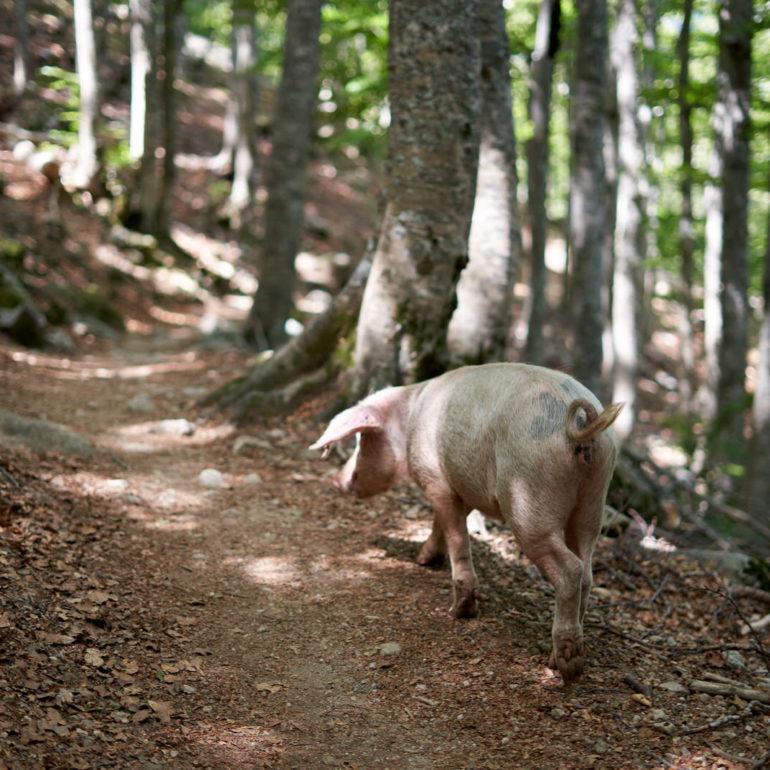 cochon-sauvage-corse