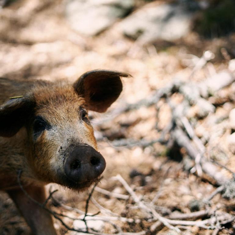 corse-gr20-cochon